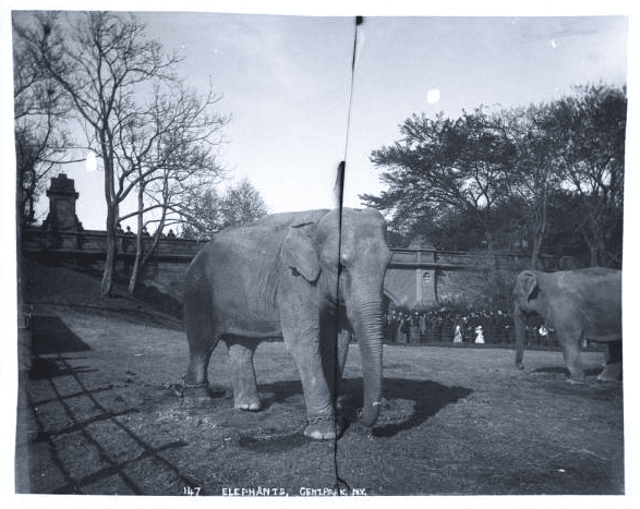 J.S. Johnson, Elephants, Central Park, New York City, undated. J.S. Johnston photograph collection, 1890-1899, New-York Historical Society