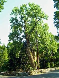 Balmville_Tree