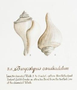 Busycotypus canaliculatum