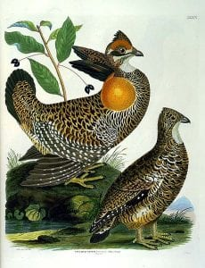 Turvey Heath Hen Illustration