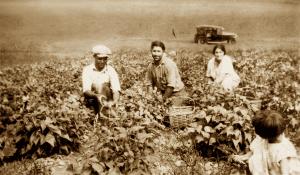 3 male bean pickers