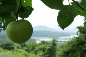boscobel apples