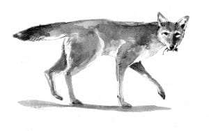 coyote by Adelaide Tyrol