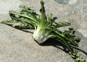 Dandelion crown cut to make Yard Squid