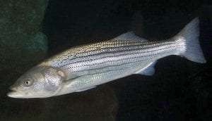Striped Bass courtesy Smithsonian
