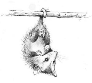opossum by adelaide tyrol
