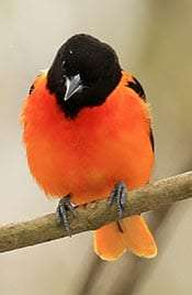 Baltimore Oriole by Tim Lenz Macaulay Library