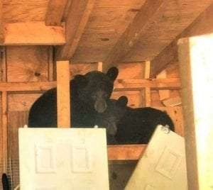 Barricaded yearling black bears in Rock Hill courtesy DEC