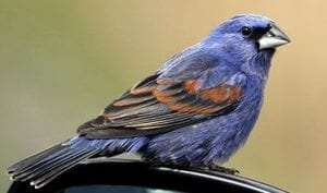 Blue Grosbeak by Jay McGowan Macaulay Library