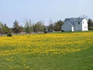 Dandelions in a Field - Kevin W. Frank - Ph.D.- Extension Turf Specialist - Michigan State