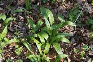 Ramps Wild Leeks Allium tricoccum