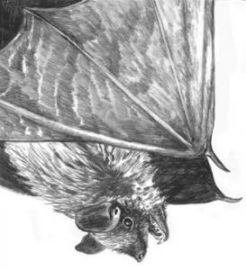 bat by adelaide tyrol