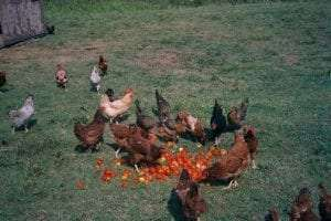 free range chickens being fed outdoors courtesy Wikimedia user Asterion