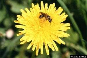sweat bee on dandelion - Scott Bauer - USDA Agricultural Research Service - Bugwood.org