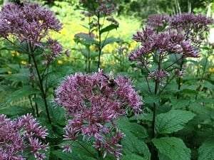 Joe Pye weed by Danielle Brigida