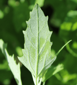 Leaf shape showing white dusty underside