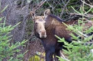 Moose provided by DEC
