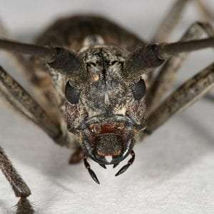 Northeastern Pine Sawyer Beetle courtesy University of Wisconsin-La Crosse