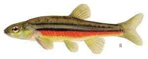 Northern Redbelly Dace