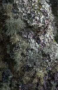 tree covered with leafy foliose lichens and shrubby fruticose lichens courtesy Wikimedia user MichaelMaggs