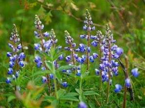wild blue lupine by Marcelo del Puerto