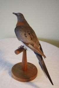 Adirondack-Passenger-Pigeon-533x800