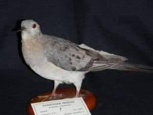 Female-Passenger-Pigeon-540x405