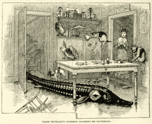 Frank Bucklands sturgeon alarming his household contemporary magazine engraving