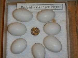 Passenger-Pigeon-eggs-540x405