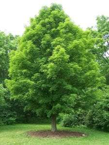 Sugar Maple courtesy Wikimedia user Bruce Marlin