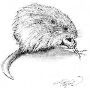 muskrat by adelaide tyrol